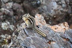 Tiny Chipmunk in a lava field Stock Photography