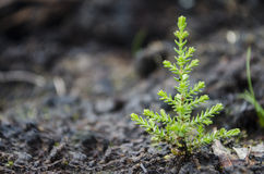 Tiny Christmas Tree Stock Image