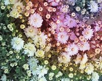 Tiny Chrysanthemum flowers create a beautiful background with a tint of added rainbow colors Royalty Free Stock Image