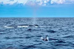 Whales large and small stock photos
