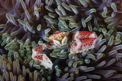 Tiny coral crab in anemone Stock Images