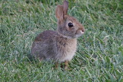 Tiny Cotton Tail Royalty Free Stock Photo