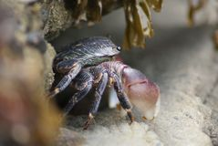 Tiny Crab emerging from Rocks Stock Photos