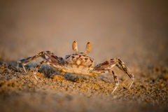 Tiny Crab Royalty Free Stock Image