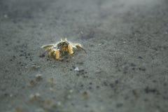 Tiny crab Royalty Free Stock Photography