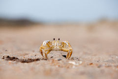 Tiny crab Stock Images