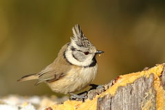 Tiny crested tit at lard feeder Stock Photos