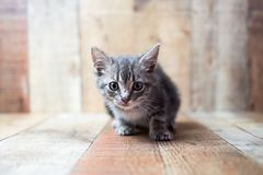 Tiny cute baby silver tabby cat. Sitting on vintage wood background royalty free stock images