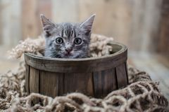 Tiny cute baby silver tabby cat. Sitting on vintage wood background royalty free stock image