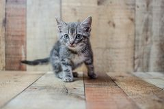 Tiny cute baby silver tabby cat. Sitting on vintage wood background royalty free stock photography