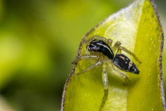 Tiny cute jumping spider on a leaf Stock Photos