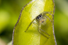 Tiny cute jumping spider on a leaf Stock Photo