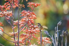 Tiny cute male Rufous Hummingbird sitting on a brunch. Saw at Los Angeles, California, United States Stock Photography