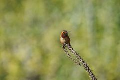 Tiny cute male Rufous Hummingbird sitting on a brunch. Saw at Los Angeles, California, United States Stock Photo