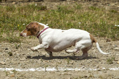 Tiny Dachsund tries hard in the race. Stock Photos