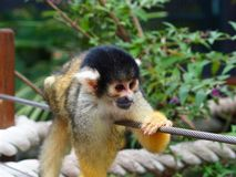 Tiny Dainty Squirrel Monkey in a Relaxed Pose. A charming alert Squirrel monkey with Healthy Soft fur in a endearing portrait royalty free stock image