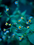 Tiny Daisies. Tiny little daisies with a colorful blue background Royalty Free Stock Photography