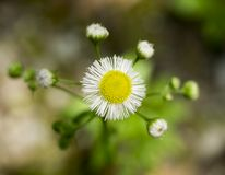 Tiny Daisy Fleabane Flower Royalty Free Stock Images