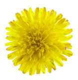 Tiny dandelion covered with dew Stock Image