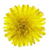 Tiny dandelion covered with dew. Isolated on white background. Extrim macro stock image