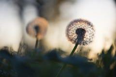 Tiny dandelions Stock Images