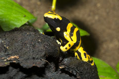 Tiny dart frogs, Yelow-Banded Pison frog, Dendrobates leucomelas Royalty Free Stock Image