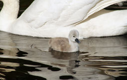 Tiny 3 day old Mute Swan cygnet swimming alongside her mother.  Contrast in size Stock Image