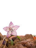 Tiny Decorative Pepper Flower Stock Photography