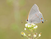 Tiny, delicate Gray Hairstreak butterfly Royalty Free Stock Photos