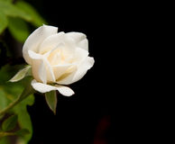 Tiny delicate rose blossom Royalty Free Stock Photos