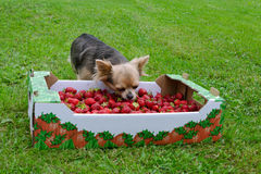 Tiny dog with a box of strawberries Stock Image