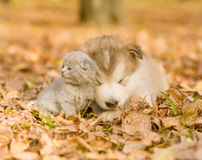 Tiny dog and a cat lying together on the autumn leaves Royalty Free Stock Images