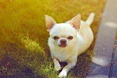 Tiny dog Royalty Free Stock Image