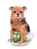 Tiny dog hiding in tea cup Royalty Free Stock Photography