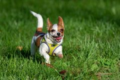 Tiny dog running around a very green field. A young chihuahua / dachshund mix is sprinting around her big yard during a photo shoot stock photography
