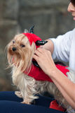 Tiny Dog Wears Devil Costume For Halloween Stock Image