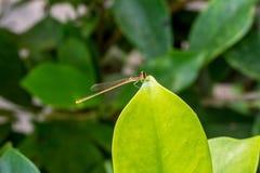 Tiny dragonfly Stock Photos