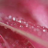 Tiny drop on red Gerbera flower Stock Image