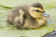 A tiny duckling on a lily pad stock image