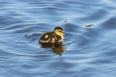Tiny Duckling Stock Images