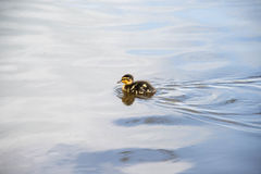 A tiny duckling swimming across a lake. In the UK Stock Photography
