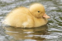 A tiny duckling on the water Stock Image
