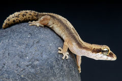 Pygmy Panther gecko / Paroedura androyensis Royalty Free Stock Photo