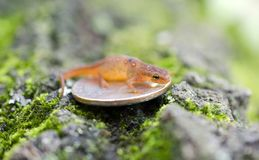 Tiny Eastern Spotted Newt on quarter coin Royalty Free Stock Photography
