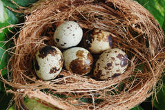 Tiny eggs in nest Royalty Free Stock Image