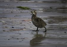 Eider duckling walking on the beach royalty free stock image