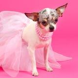 Tiny elegant dog. Tiny elegant Chihuahua dog clothes Stock Image