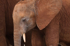 Tiny Elephant. Portrait of young African elephant standing next to mom Stock Images