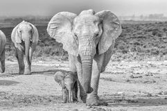 Elephant calf walking next to its mother. Monochrome stock photos