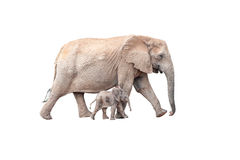 Tiny elephant calf walking next to mother isolated on white stock photo